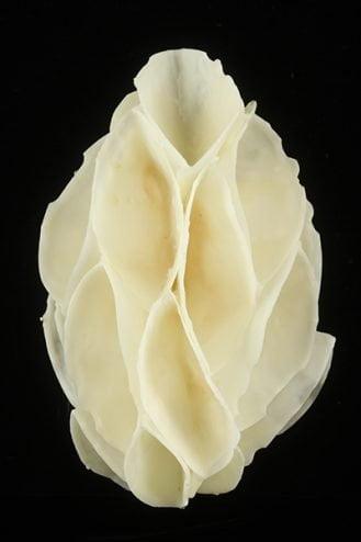 Helen Dannelly White Cluster